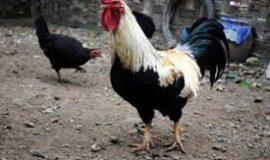 mơ về gà đánh con gì