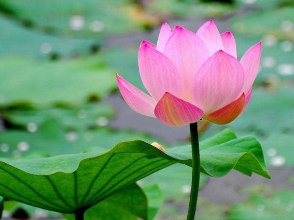 Giấc mơ thấy hoa sen mang đến điềm báo điều gì?