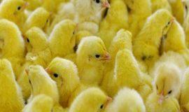 Mơ thấy gà mang điềm báo gì? Đánh con nào chính xác nhất,