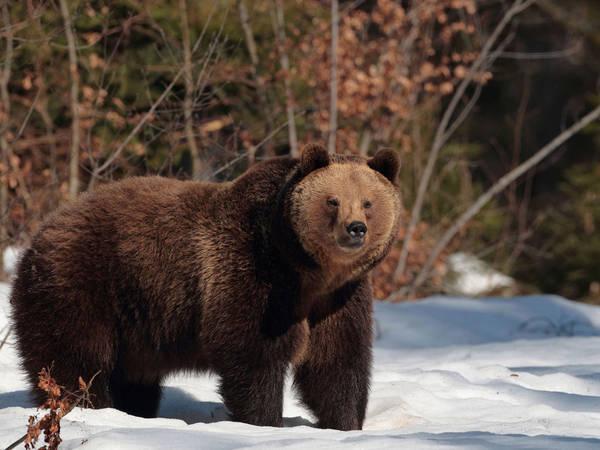 Mơ thấy gấu là điềm báo điều gì?