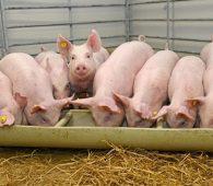 Mơ thấy đàn lợn điềm báo gì đánh số gì?